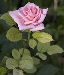 יש ורדים עם קוצים ויש כאלה בלי, יופיים וריחם ייחודיים.