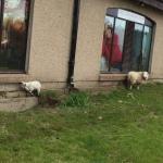 הכבשים שמחוץ לחנות דוגמא חיה לצמר שנמכר מחוץ לחנות